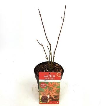 Planta De Exterior - Todas - Acer Palm. Atropurpureum Rojo Maceta 15cm