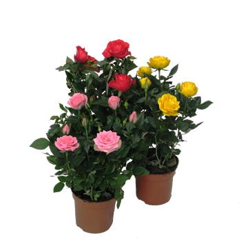 Planta De Interior - Planta Interior Flor - ROSAL MINI M10.5