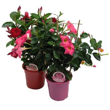 Planta De Exterior - Planta De Temporada - Dipladenia Coleccion C14 Piramide 40cm
