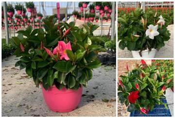 Planta De Exterior - Trepadoras - Dipladenia Tarrina 23cm