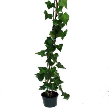 Planta De Exterior - Trepadoras - Hiedra 150cm Altura M18cm