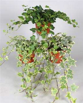 Planta De Exterior - Trepadoras - Hiedra Variada Maceta 13cm