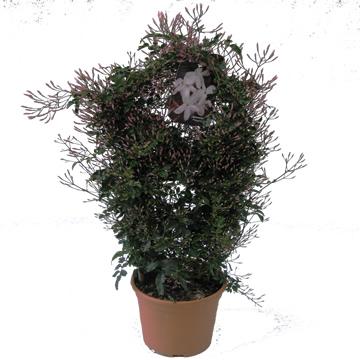 Planta De Exterior - Trepadoras - Jazmin Polyantha 40cm Alto Maceta 14cm