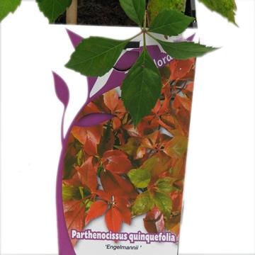 Planta De Exterior - Trepadoras - Parra Virgen Quinquefolia C.2l 60/80