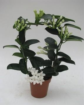 Planta De Exterior - Trepadoras - Stephanotis Maceta 12cm Altura 35cm