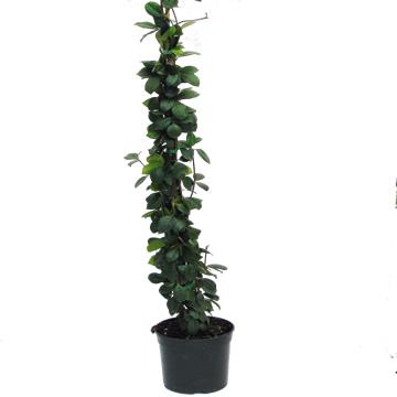 Planta De Exterior - Trepadoras - Trachilospermun Jasminoides C3l