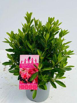 Planta De Exterior - Plantas De Sombra - Azalea Japonica Maceta De 2.5l Colores Variados