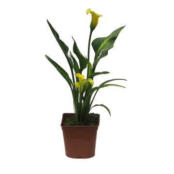Planta De Exterior - Plantas De Sombra - Cala Blanca Maceta 20cm