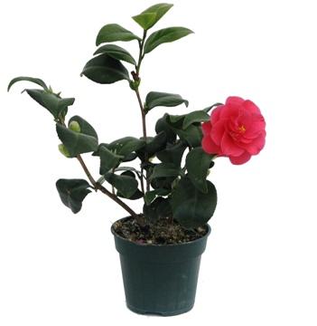 Planta De Exterior - Plantas De Sombra - Camelia Maceta 12cm