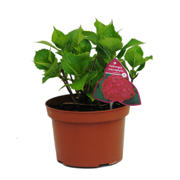 Planta De Exterior - Plantas De Sombra - Hortensia C3l Colores Variados