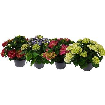 Planta De Exterior - Plantas De Sombra - Hortensia Colores Maceta 23cm Y Altura 35cm