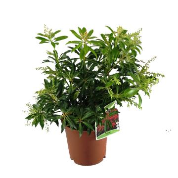 Planta De Exterior - Plantas De Sombra - Pieris Japonica Maceta 1,5l 20/30 Altura