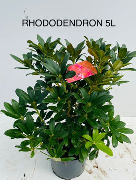 Planta De Exterior - Plantas De Sombra - Rododendro Hibrido Maceta 5l 40/60 Altura