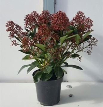 Planta De Exterior - Plantas De Sombra - Skimmia Japonica Maceta15cm Y 35cm Altura