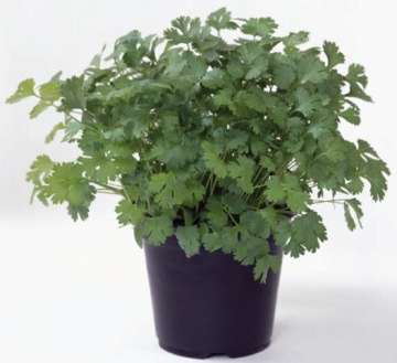 Planta De Exterior - Aromaticas - Cilantro Maceta 10,5cm