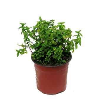 Planta De Exterior - Aromaticas - HIERBABUENA M12