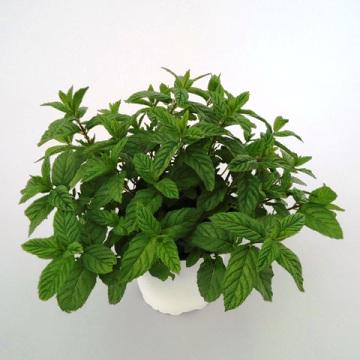 Planta De Exterior - Aromaticas - Hierbabuena M11