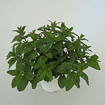 Planta De Exterior - Aromaticas - Hierbabuena M15