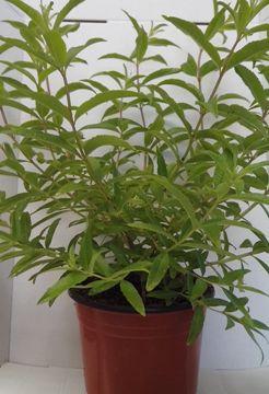 Planta De Exterior - Aromaticas - Hierba Luisa Maceta 14cm