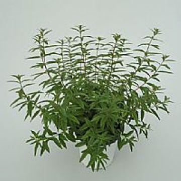 Lavanda maceta color m14 aromaticas planta de exterior - Hierba luisa en maceta ...