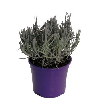 Planta De Exterior - Aromaticas - Lavanda Maceta Color M14