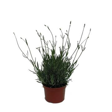 Planta De Exterior - Aromaticas - Lavanda Maceta 18cm