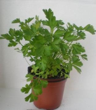 Planta De Exterior - Aromaticas - Perejil Maceta 11cm