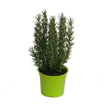 Planta De Exterior - Aromaticas - Romero Maceta Color M14
