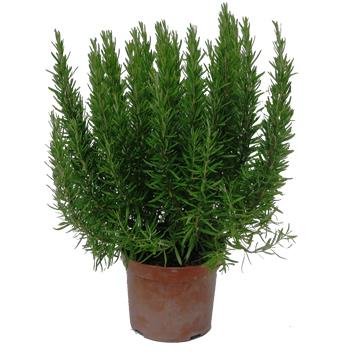 Planta De Exterior - Aromaticas - Romero Maceta18cm