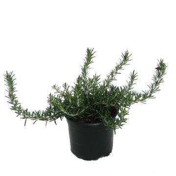 Planta De Exterior - Aromaticas - Romero Rastrero M18