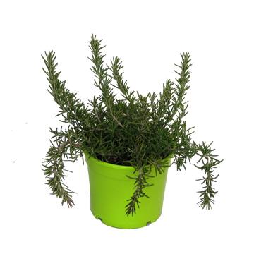 Romero rastrero maceta color m14 aromaticas planta de for Plantas aromaticas en macetas