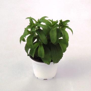 Planta De Exterior - Aromaticas - Stevia Rebaudiana M10,5
