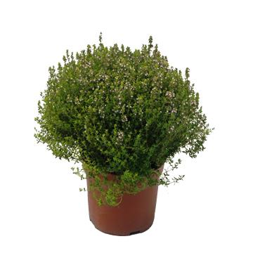 Tomillo m18 aromaticas planta de exterior centro de for Vivero alcorcon