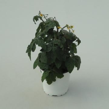 Planta De Exterior - Plantas De Huerto - Tomate Cherry Maceta 13cm