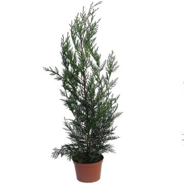 Planta De Exterior - Plantas De Seto - Leylandi 50/70cm Altura