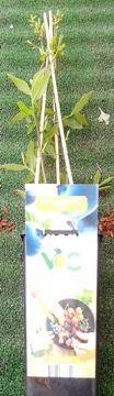 Planta De Exterior - Frutales Y Frutos De Bosque - Arandano Azul Vaccinium Corymbosum 2l