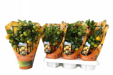 Planta De Exterior - Frutales Y Frutos De Bosque - CALAMONDIN MINI M12