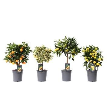 Planta De Exterior - Frutales Y Frutos De Bosque - Citricos Enanos Maceta 15cm Solo Calamondin