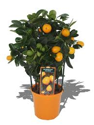 Planta De Exterior - Frutales Y Frutos De Bosque - KUMQUAT FUKUSHU ESPALDERA MINI M12