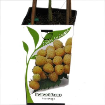Planta De Exterior - Frutales Y Frutos De Bosque - Frambuesa Amarilla Rubus Idaeus 2l