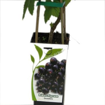 Planta De Exterior - Frutales Y Frutos De Bosque - Grosellero Negro Ribes Nigrum 2l