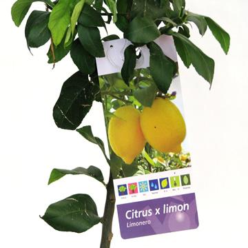 Planta De Exterior - Frutales Y Frutos De Bosque - Limonero Eureka C25