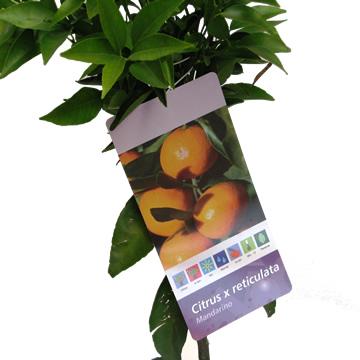 Planta De Exterior - Frutales Y Frutos De Bosque - Mandarino Copa Baja M20