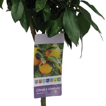 Planta De Exterior - Frutales Y Frutos De Bosque - Naranjo Maceta 25cm