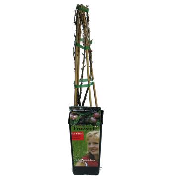 Planta De Exterior - Frutales Y Frutos De Bosque - Uva Crispa Ribes Captivator2l