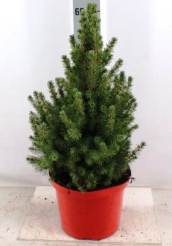 Planta De Exterior - Conifera Arbustiva - PICEA GLAUCA CONICA 50CM ALTO Y MACETA DE 23CM