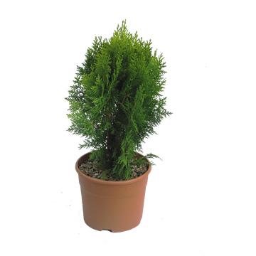 Planta De Exterior - Conifera Arbustiva - Thuya Aurea Nana C3l