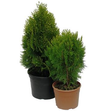 Planta De Exterior - Conifera Arbustiva - Thuya Aurea Nana