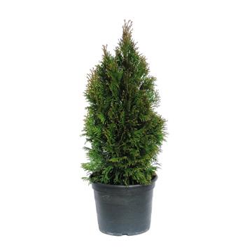 Planta De Exterior - Conifera Arbustiva - Thuya Esmeralda 2,5l