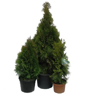 Planta De Exterior - Conifera Arbustiva - Thuya Esmeralda